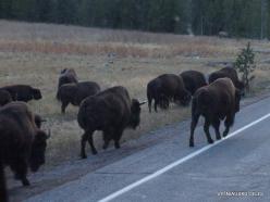 Jeloustono nacionalinis parkas. Hayden Valley. Amerikinis bizonas (Bison bison) (4)