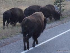 Jeloustono nacionalinis parkas. Hayden Valley. Amerikinis bizonas (Bison bison)