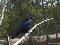 Jeloustono nacionalinis parkas. Paprastojo kranklio vakarinis porūšis (Corvus corax sinuatus)