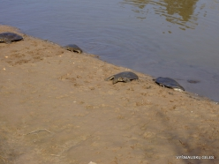 Alexander River National Park. African softshell turtle (Trionyx triunguis) (2)