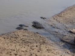 Alexander River National Park. African softshell turtle (Trionyx triunguis) (8)