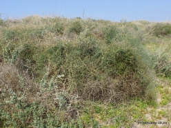 Habonim Beach Nature Reserve. Asparagus horridus