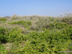 Habonim Beach Nature Reserve. Boxthorn (Lycium schweinfurthii)