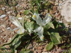 Habonim Beach Nature Reserve. Palestine Iris (Iris (Juno) palaestina)