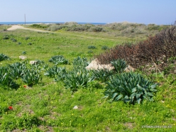 Habonim Beach Nature Reserve. Sea squill (Drimia maritima)