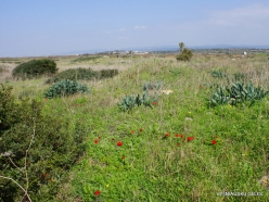 Habonim Beach Nature Reserve. Sharon Plain vegetation (batha) (4)