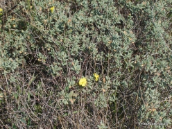 Habonim Beach Nature Reserve. Sun-Rose (Helianthemum stipuatum)