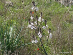 Hof Dor. Common Asphodel (Asphodelus aestivus) (5)