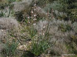 Hof Dor. Common Asphodel (Asphodelus aestivus) (6)