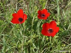 Hof Dor. Crown Anemone (Anemone coronaria) (10)