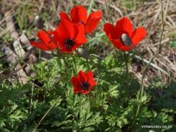 Hof Dor. Crown Anemone (Anemone coronaria) (2)