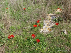 Hof Dor. Crown Anemone (Anemone coronaria) (4)