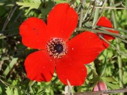 Hof Dor. Crown Anemone (Anemone coronaria) (6)