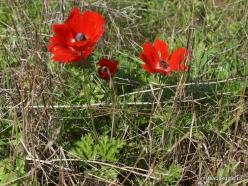 Hof Dor. Crown Anemone (Anemone coronaria) (7)