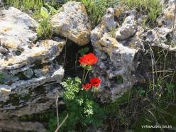 Hof Dor. Crown Anemone (Anemone coronaria) (9)