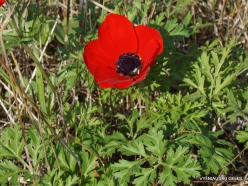 Hof Dor. Crown Anemone (Anemone coronaria)