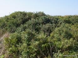 Hof Dor. Mastic (Pistacia lentiscus) (2)