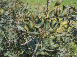 Hof Dor. Mastic (Pistacia lentiscus) (3)