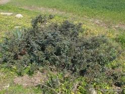 Hof Dor. Mastic (Pistacia lentiscus) (4)