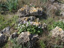 Hof Dor. Persian Cyclamen (Cyclamen persicum) (4)