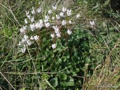 Hof Dor. Persian Cyclamen (Cyclamen persicum) (5)