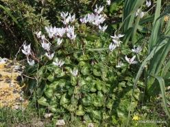 Hof Dor. Persian Cyclamen (Cyclamen persicum) (7)