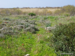 Hof Dor. Sharon Plain vegetation (batha) (8)