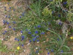 Near Netanya. Iris reserve. Alkanet (Alkanna tinctoria) (2)