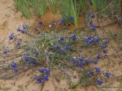 Near Netanya. Iris reserve. Alkanet (Alkanna tinctoria) (3)