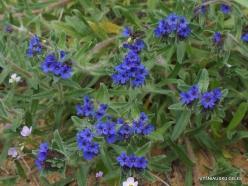 Near Netanya. Iris reserve. Alkanet (Alkanna tinctoria)
