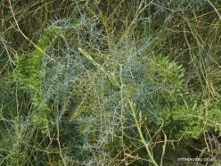 Near Netanya. Iris reserve. Asparagus horridus (2)