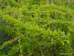 Near Netanya. Iris reserve. Boxthorn (Lycium schweinfurthii)