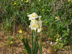 Near Netanya. Iris reserve. Bunchflower daffodil (Narcissus tazetta) (3)