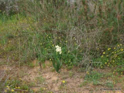 Near Netanya. Iris reserve. Bunchflower daffodil (Narcissus tazetta)