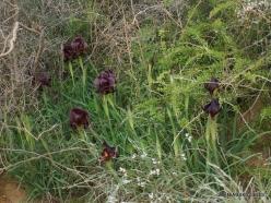 Near Netanya. Iris reserve. Coastal Iris (Iris atropurpurea) (10)