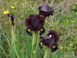 Near Netanya. Iris reserve. Coastal Iris (Iris atropurpurea) (14)