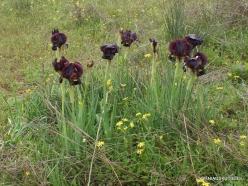 Near Netanya. Iris reserve. Coastal Iris (Iris atropurpurea) (15)