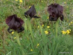 Near Netanya. Iris reserve. Coastal Iris (Iris atropurpurea) (18)
