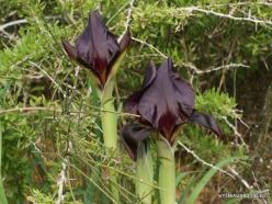 Near Netanya. Iris reserve. Coastal Iris (Iris atropurpurea) (21)