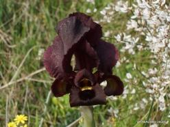 Near Netanya. Iris reserve. Coastal Iris (Iris atropurpurea) (23)