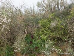 Near Netanya. Iris reserve. Coastal Iris (Iris atropurpurea) (24)