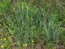 Near Netanya. Iris reserve. Coastal Iris (Iris atropurpurea) (5)