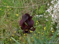 Near Netanya. Iris reserve. Coastal Iris (Iris atropurpurea) (7)