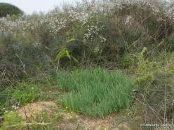 Near Netanya. Iris reserve. Coastal Iris (Iris atropurpurea) (8)