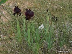 Near Netanya. Iris reserve. Coastal Iris (Iris atropurpurea)
