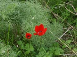 Near Netanya. Iris reserve. Crown Anemone (Anemone coronaria) (2)