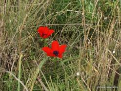 Near Netanya. Iris reserve. Crown Anemone (Anemone coronaria) (3)