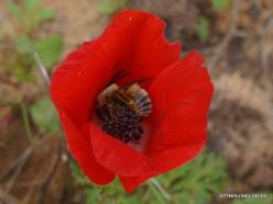 Near Netanya. Iris reserve. Crown Anemone (Anemone coronaria)
