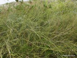 Near Netanya. Iris reserve. Ephedra sp. (2)