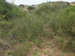 Near Netanya. Iris reserve. Ephedra sp.